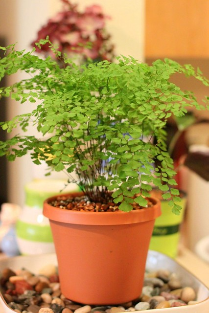My Boldest Move Yet: The Venus Maidenhair Fern