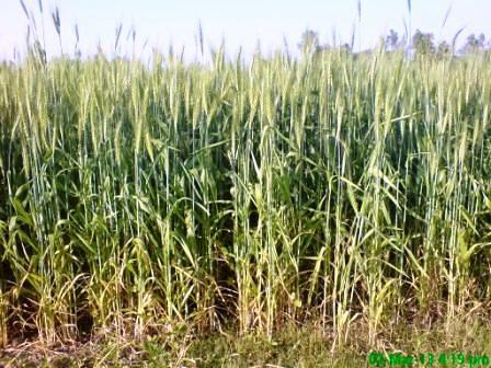 Wheat (1)
