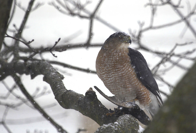 hawk with starling