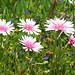 Crepis rubra (David Watson)