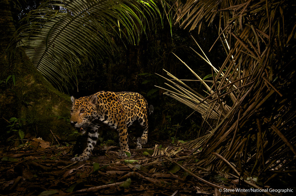 A breathtaking camera trap shot of jaguar in Ecuador's Yasuní National Park