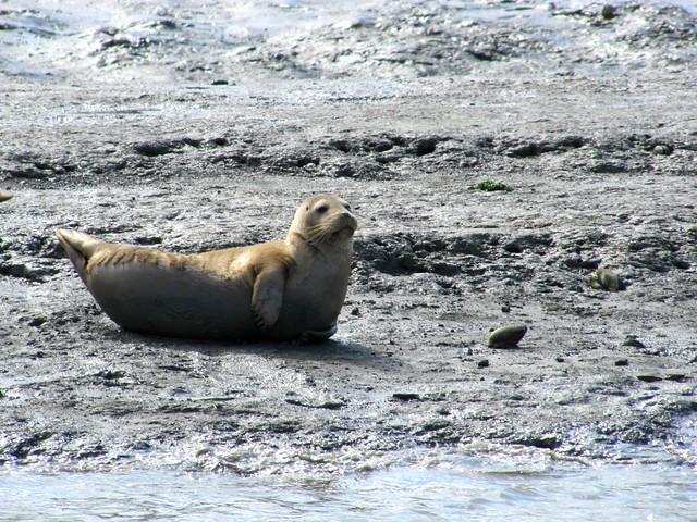 Harbor Seal on Elkhorn Slough