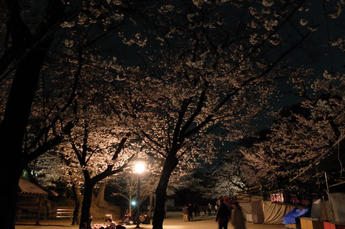 Sakura night viewing at Inohana