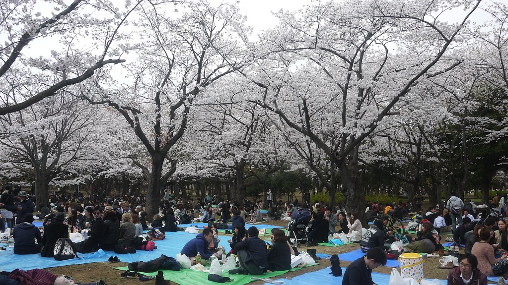 Sitting Under The Cherry Blossoms