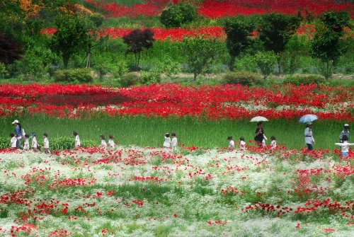 red-flowers-korea.jpg