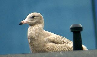 Vittrut / Glaucous Gull