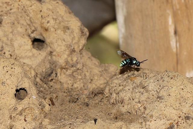 Neon Cuckoo Bee 6359