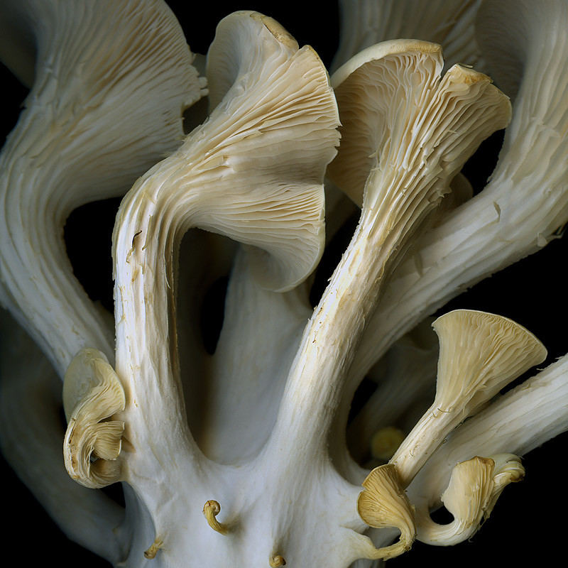 SYNFONIETTA...of THE OYSTER MUSHROOM by magda indigo