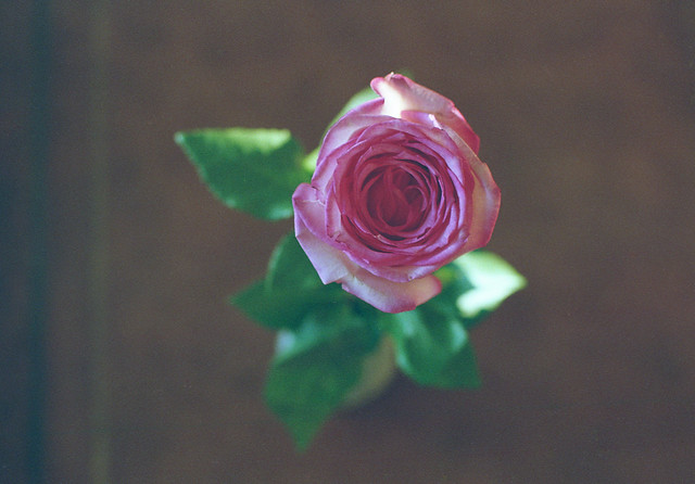just a simple rose