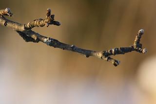 Apple tree twig
