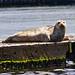 Flickr photo 'Harbor Seal-{Phoca vitulina}' by: jerrygabby1.