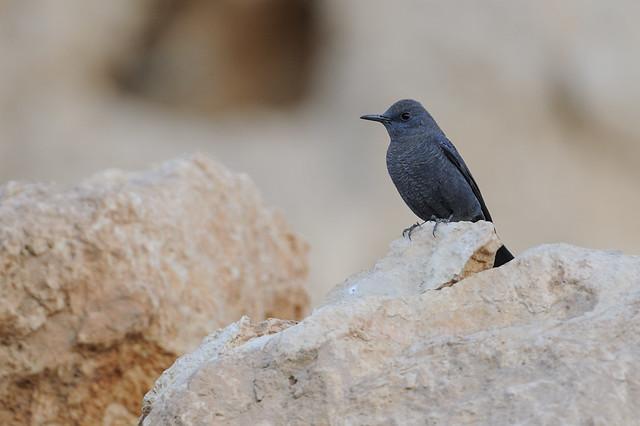 Blue Rock Thrush / Blåtrast (monticola solitarius)