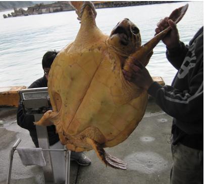 量測體重時的赤蠵龜,張大嘴作勢攻擊