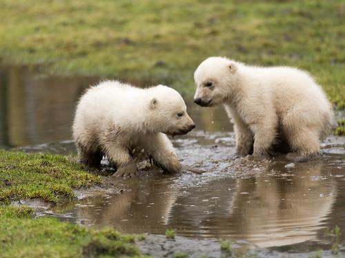 Polar bear cubs (jonge ijsbeertjes)