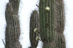 plant, hedgehog cactus, cactus family,