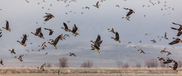 Greater White-fronted Geese and Northern Pintails in flight, Klamath Basin National Wildlife Refuge