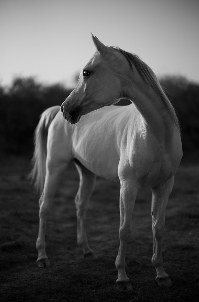 The White Horse in Doha, Qatar, January 2013. Photographed in the last minutes of the sunset light, Leica M Monochrom with Leica 50mm Noctilux-M ASPH f/0.95. Adjusted in Lightroom 3. 320 ISO, 1/4.000, f/0.95. © 2013-2016 Thorsten Overgaard.