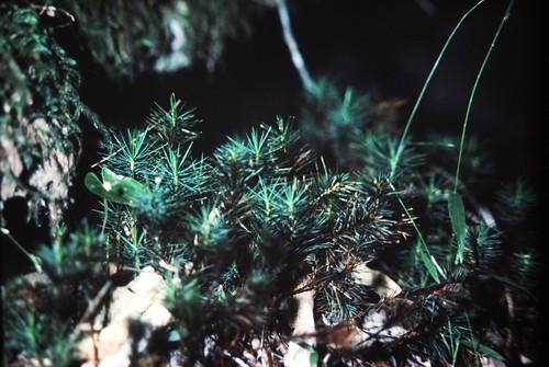 Dawsonia polytrichoides (a moss)