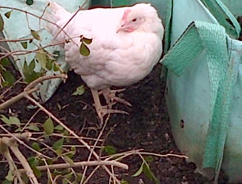 white leghorn Mar 13