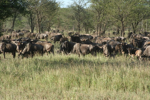 8529205151 bf997236ff When is the Best Time to See The Great Migration? Three Perspectives on One Phenomenon.