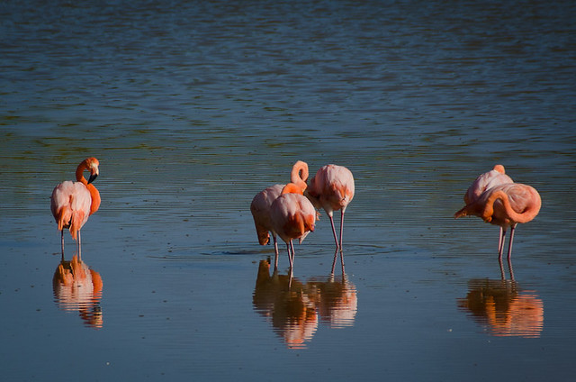 Galapagos Birds: Greater Flamingo