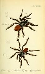 arthropod, animal, spider, araneus, invertebrate, fauna,