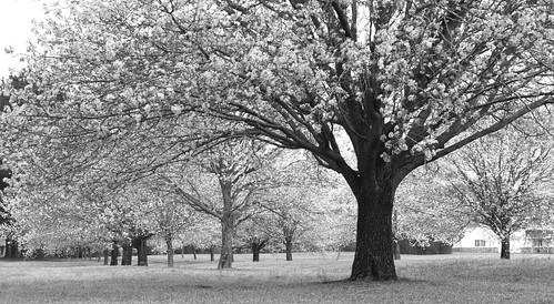 blackandwhite landscape march spring bradford blossom northcarolina pear bloom allée newbern treesinarow