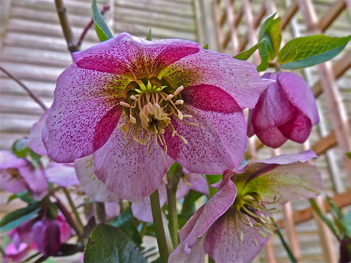 One of Many Hellebores by Irene_A_