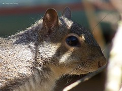 animal(1.0), squirrel(1.0), fox squirrel(1.0), rodent(1.0), mouse(1.0), fauna(1.0), close-up(1.0), degu(1.0), whiskers(1.0), gerbil(1.0), wildlife(1.0),