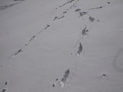 日, 2013-02-10 13:33 - 鹿の足あと