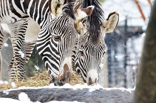 Grevy's Zebras in the Snow