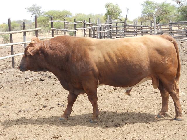 Mahalapye Botswana  city pictures gallery : Botswana Mahalapye bull | Saskia Hendrickx traveled to Botsw ...