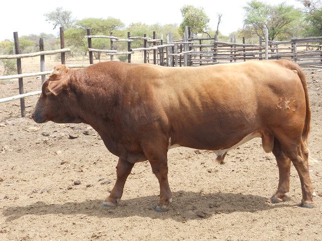 Mahalapye Botswana  city images : Botswana Mahalapye bull | Saskia Hendrickx traveled to Botsw ...