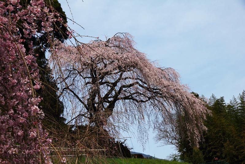 IMG_6408_3-23 Sakura in Niyodogawa