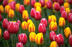 tulips-10320