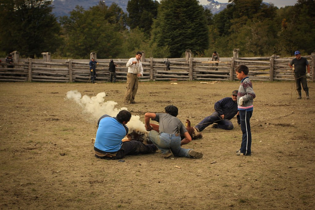 Marking of the calves. Los Nadis. Aysen, Chile.