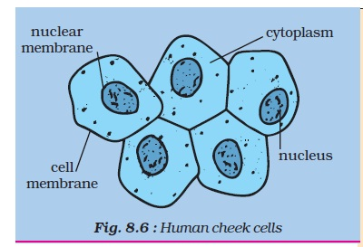 human cheek cells under diagram schematic diagram Cheek Slide 400X cheek cell diagram labeled simple schematic diagram diagram of a cell and its parts ncert class viii science chapter 8 cell structure and functions cheek