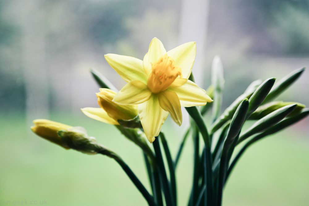 First Daffodils of the Season