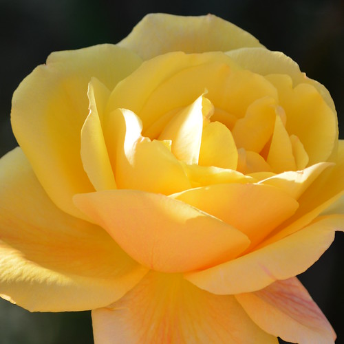 Golden Yellow rose