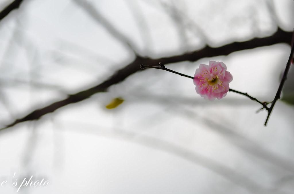 台中 太原賞櫻廊道 八重櫻 山櫻花 梅花
