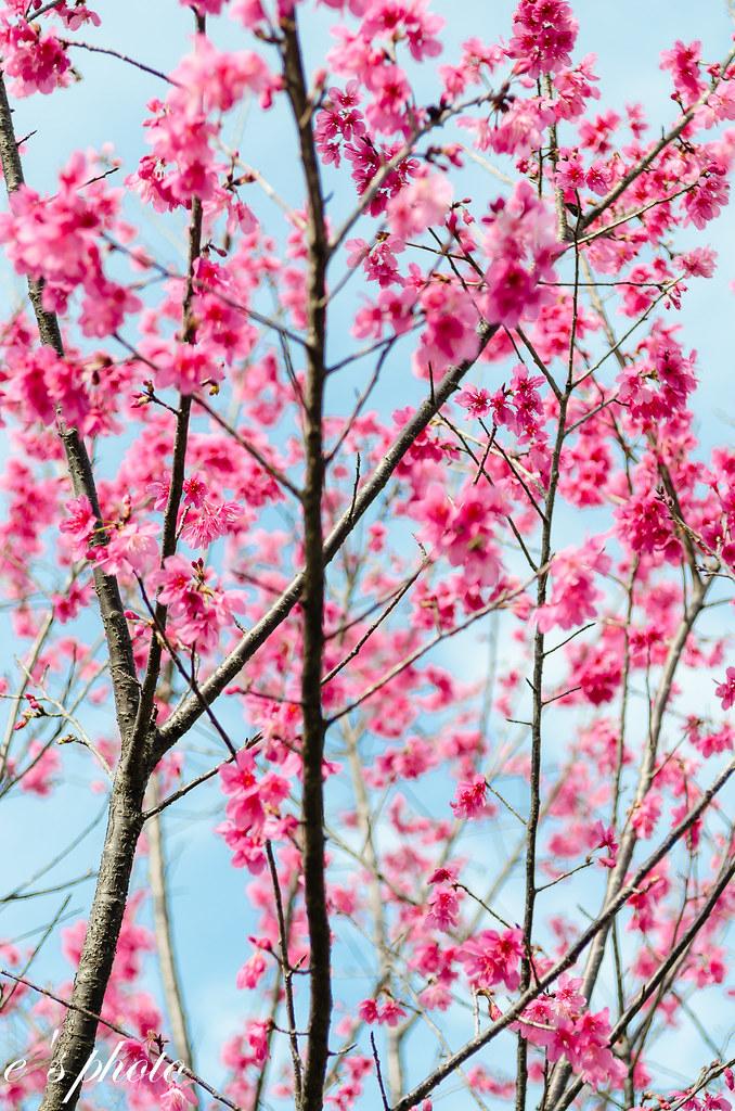新店安坑 綠野香坡 山櫻花
