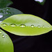 Small photo of Coca (Erythroxylum coca)