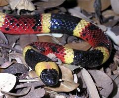 boas(0.0), boa constrictor(0.0), hognose snake(0.0), garter snake(0.0), kingsnake(0.0), animal(1.0), serpent(1.0), snake(1.0), reptile(1.0), fauna(1.0), scaled reptile(1.0),