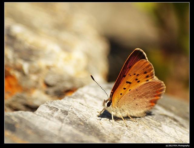Dorcas Copper (Lycaena dorcas)