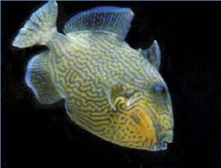yellow spotted trigger fish