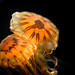 Japanese Sea Nettles