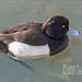 Tufted Duck by CircadianReflections Photography