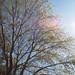Garden Inventory: Ash Tree - 12
