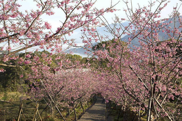 cherry blossoms with sea of clouds in Nantou , Taiwan