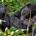 Adult and immature Gorilla, Bwindi (Ian and Kate Bruce)